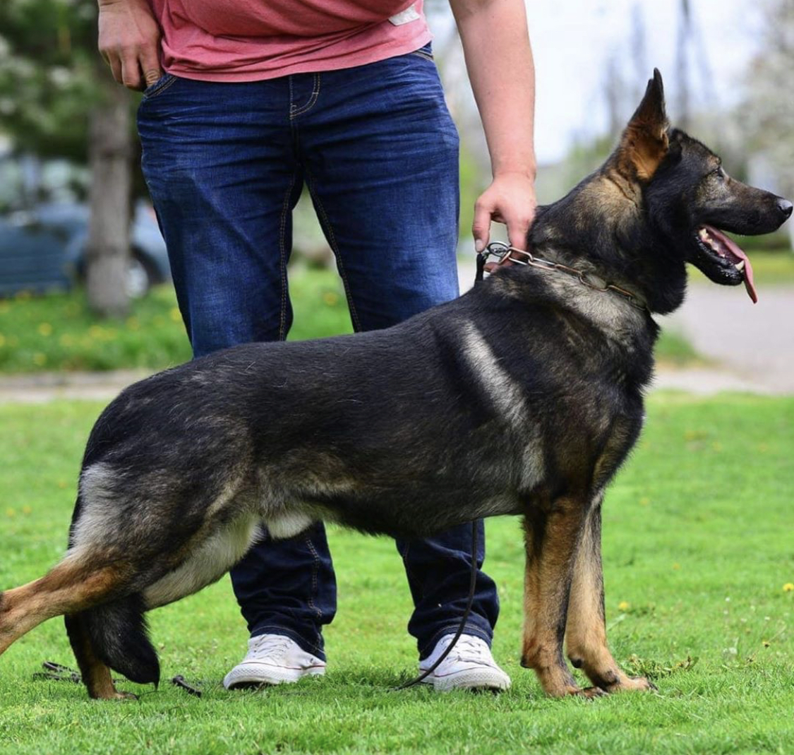 Gsd male available