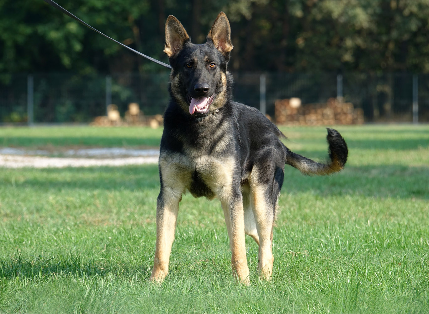 12 month old dual purpose Gsd male