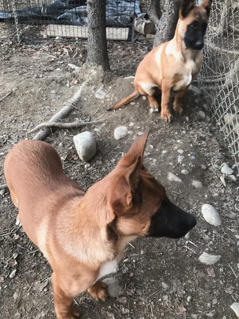 AKC/UKC parents - Male Malinois pups
