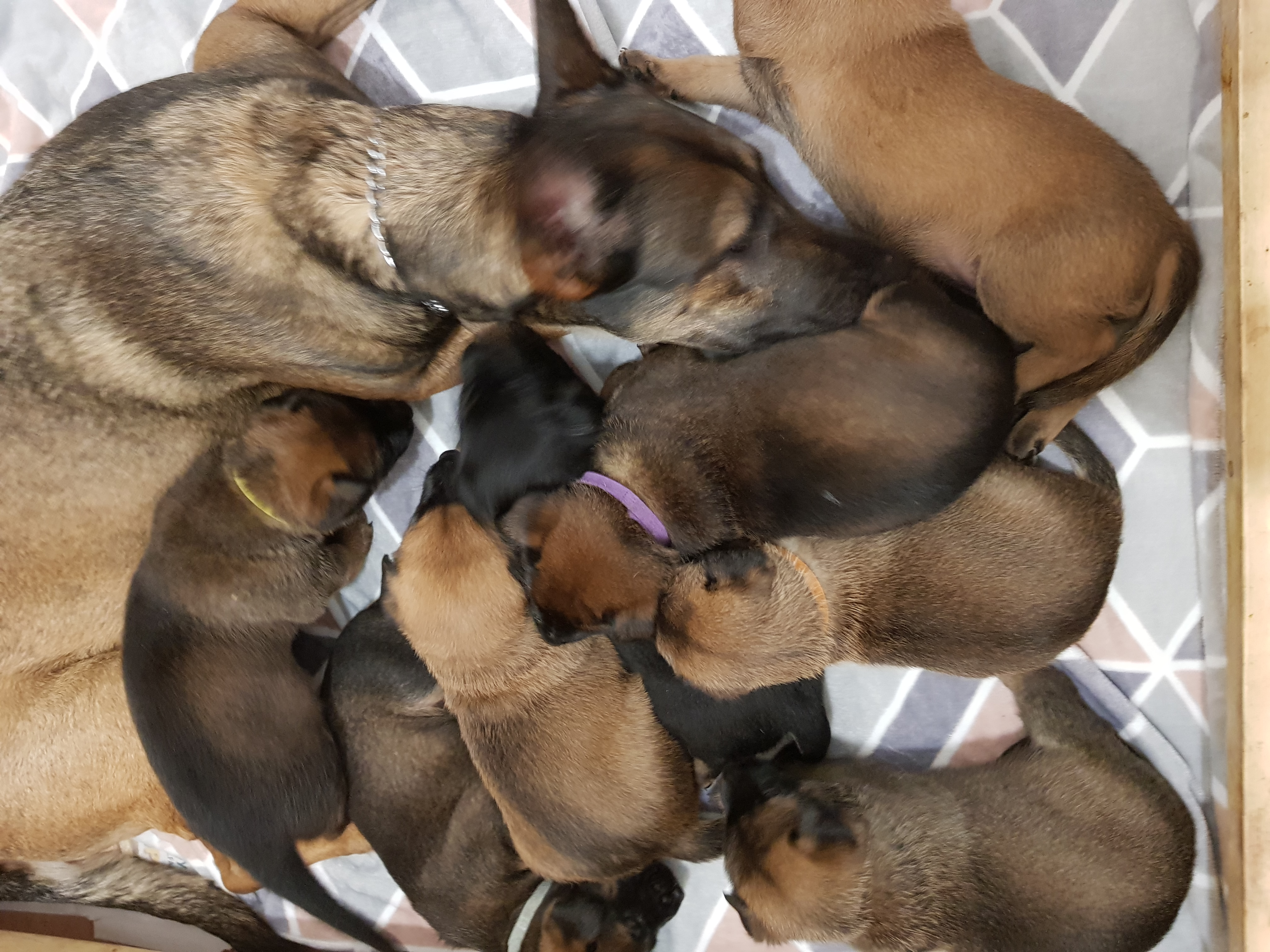 X Mechelese pups for sale