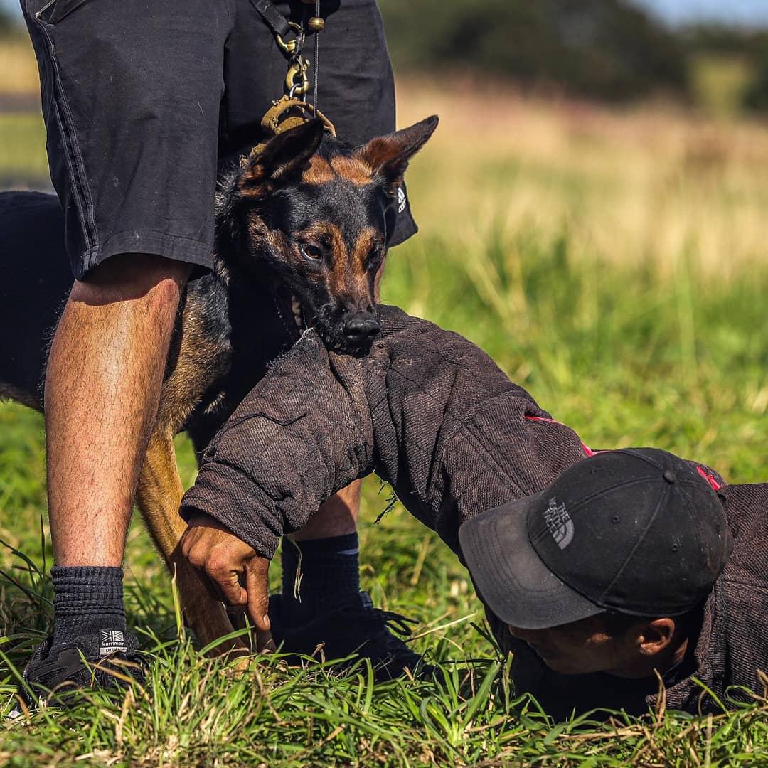 Dutch shepherd Stud