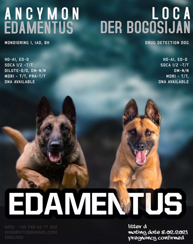 Malinois Pups